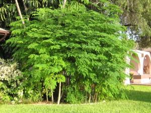 Le moringa sauvage biologique