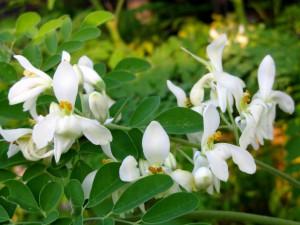 La feuille et la fleur de moringa bio