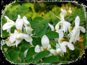 Fleurs et feuilles de Moringa oleifera