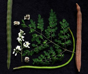 Le Moringa bio, feuilles gousses et fleurs