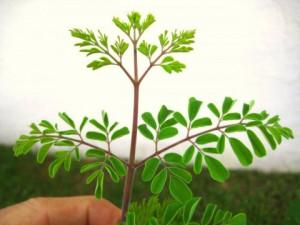 "Le moringa oleifera ou "" arbre de vie"""