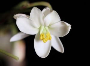 Fleur de Moringa bio