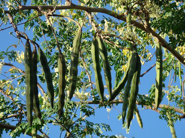 utilisation du moringa bio moringa bio moringa bio