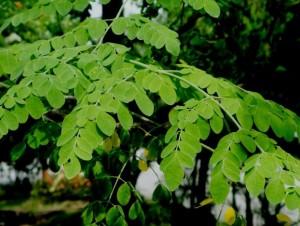 La feuille de moringa bio est très riche en antioxydants naturels puissants