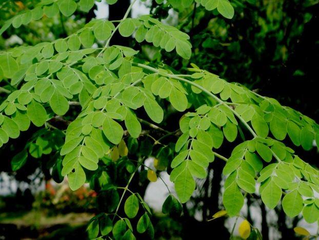 Graines de moringa bio moringa bio moringa bio - Arbre feuille rouge toute l annee ...