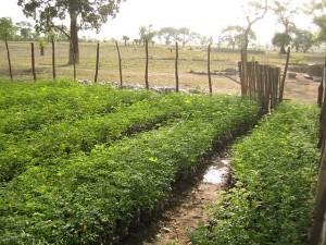 Plantation, culture de moringa bio