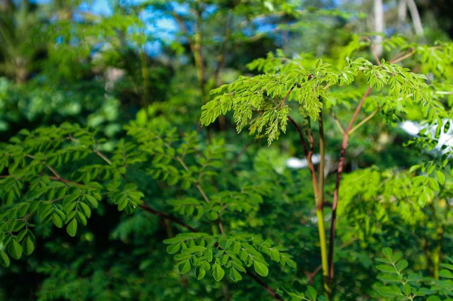 Le Moringa est un concentré naturel de vie est un complément alimentaire bio à base de poudre de feuilles de Moringa cultivées biologiquement